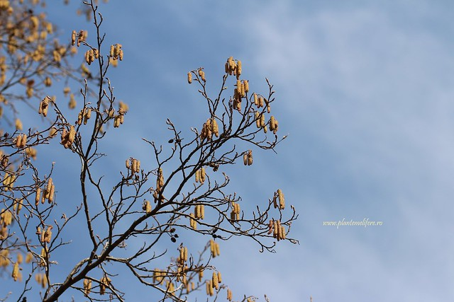Arin negru | Alnus glutinosa