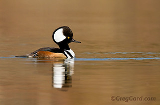 Hooded Merganser - Lophodytes cucullatus | by Greg Gard