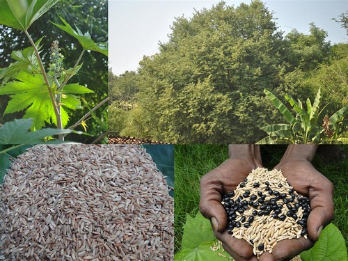 Indigenous Medicinal Rice Formulations For Heart Kidney A