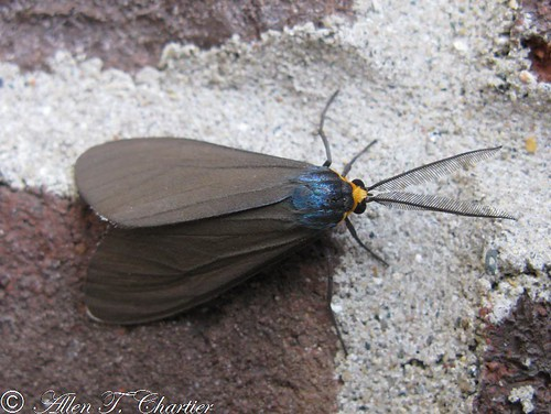 Ctenucha virginica (Virginia Ctenucha)