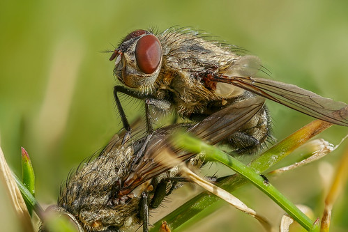 Mückenliebe /Flies in love (explored 2017-03-04) | by holgerreinert