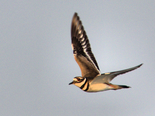 Killdeer in flight 2-20170406