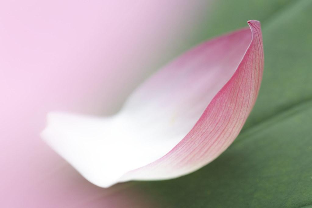 Lotus Flower Petal Sigma Sd1 Merrill Sigma Apo Macro 150mm Flickr