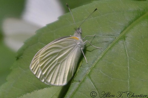 Pieris napi (Mustard White)
