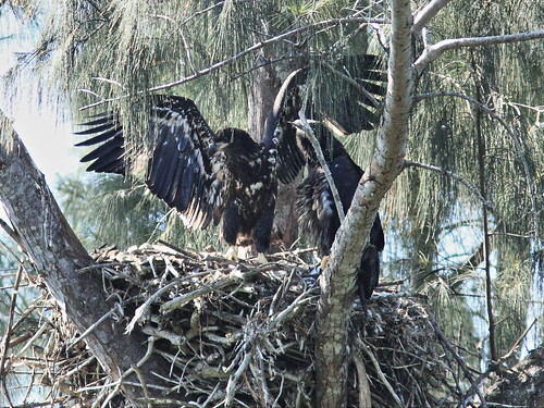 Bald Eaglet Honor flapping 20140401