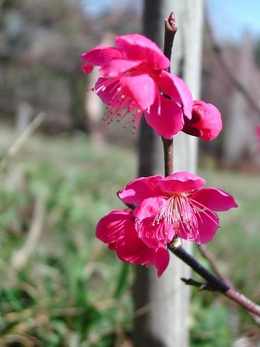 Prunus mume'Beni Chidori'
