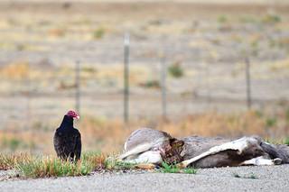 Deer Road Kill To Food Bank Montanna