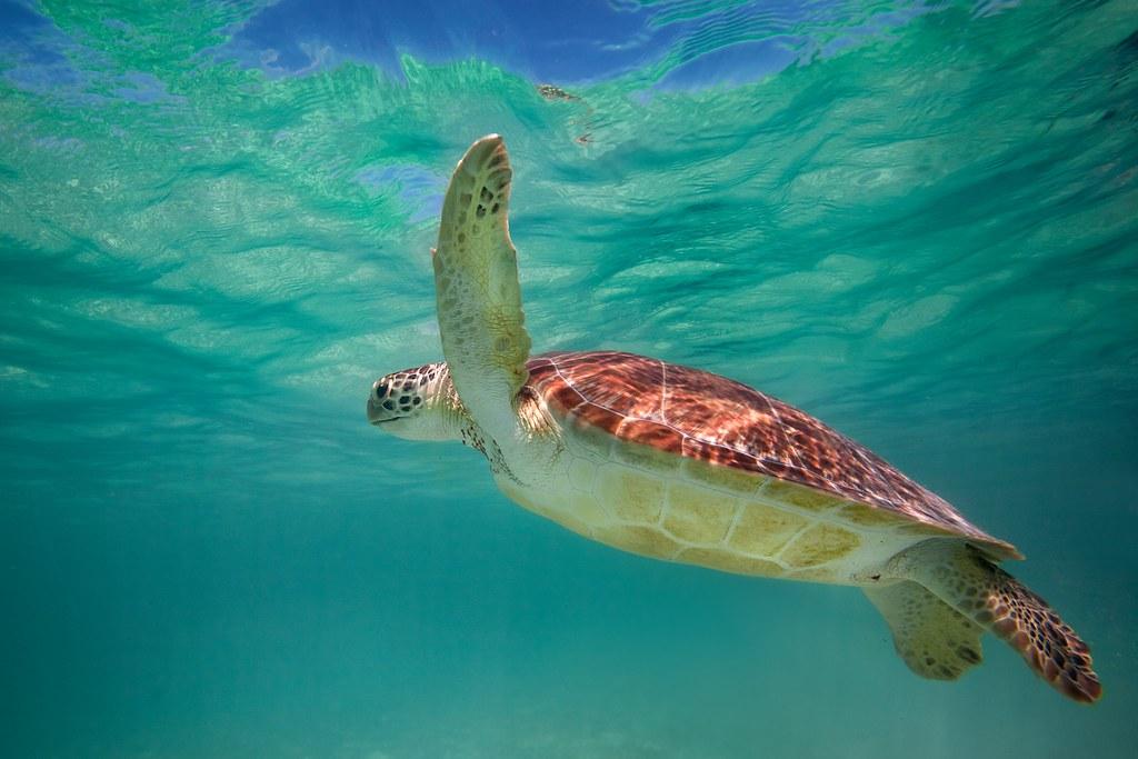 Green Sea Turtle - Akumal, Mexico