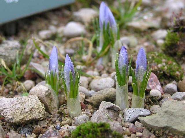 Crocus biflora, Tallinn BG