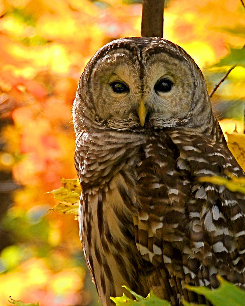 James Cox_barred owl_INN | A barred owl in autumn at Inniswo… | Flickr