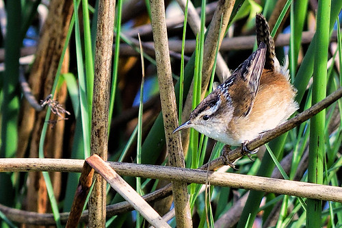 Viera Wetlands, FL: Marsh Wren 2