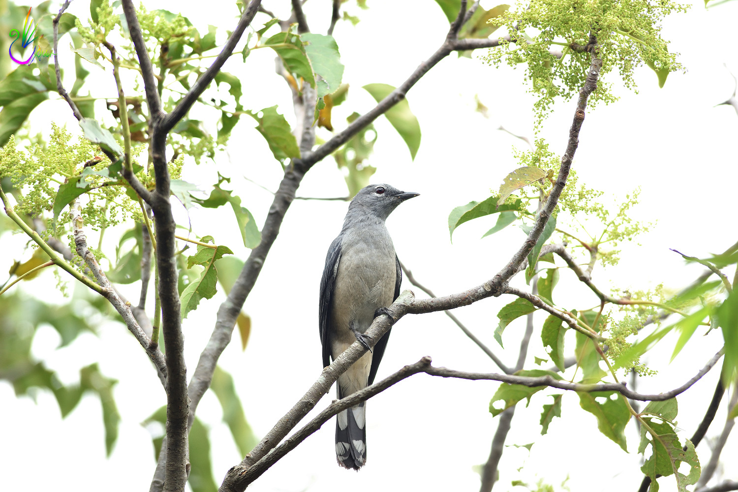 Black-winged_Cuckoo-shrike_8926