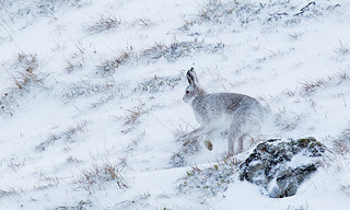 Mountain Hare Running | by Calculus-ice