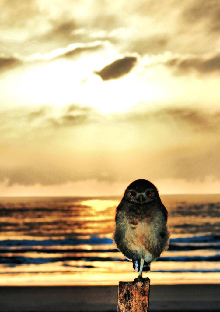 Resultado de imagem para corujas amanhecer