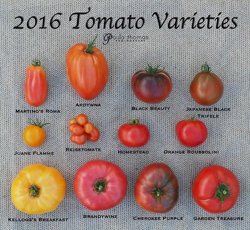 2016 Large Tomato Varieties