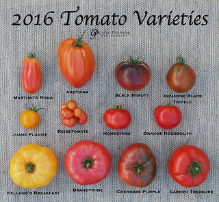 2016 Large Tomato Varieties | by gapey