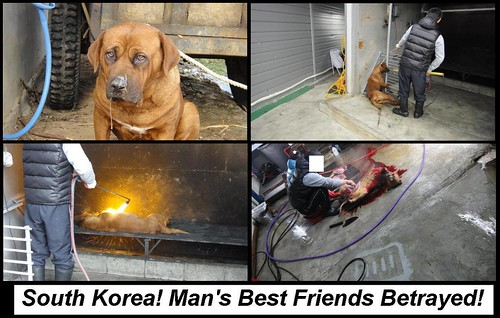 Dosa dog slaughter-South Korean Dog Meat Trade   Facebook ... - photo#48