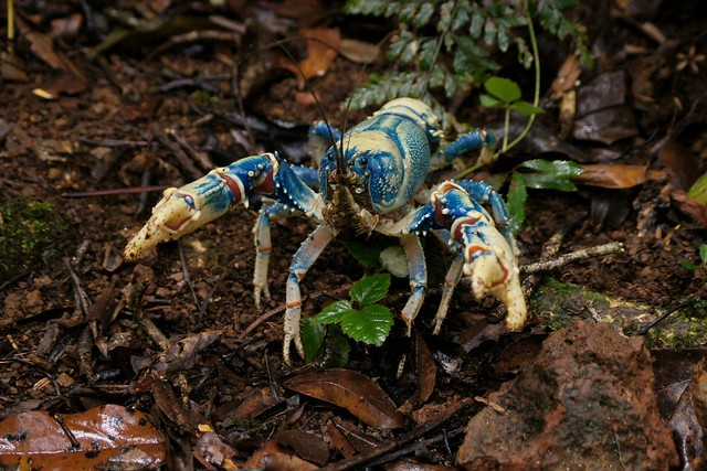 Lamington Blue Crayfish