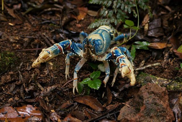 Lamington Blue Crayfish