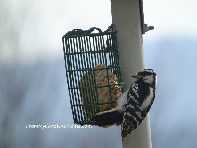Suet feeder March woodpecker