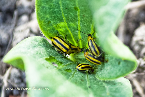 Striped Cucumber Beetle (Acalymma vittatum)