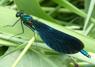 Beautiful Demoiselle. Calopteyx virgo. Male. | by gailhampshire