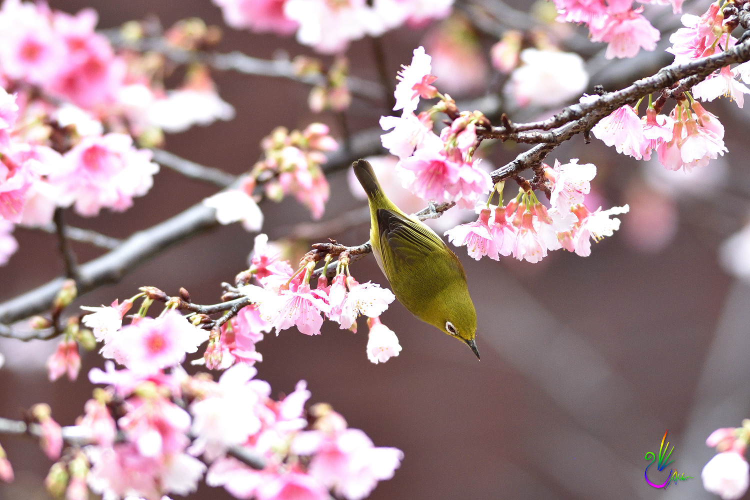 Sakura_White-eye_0714