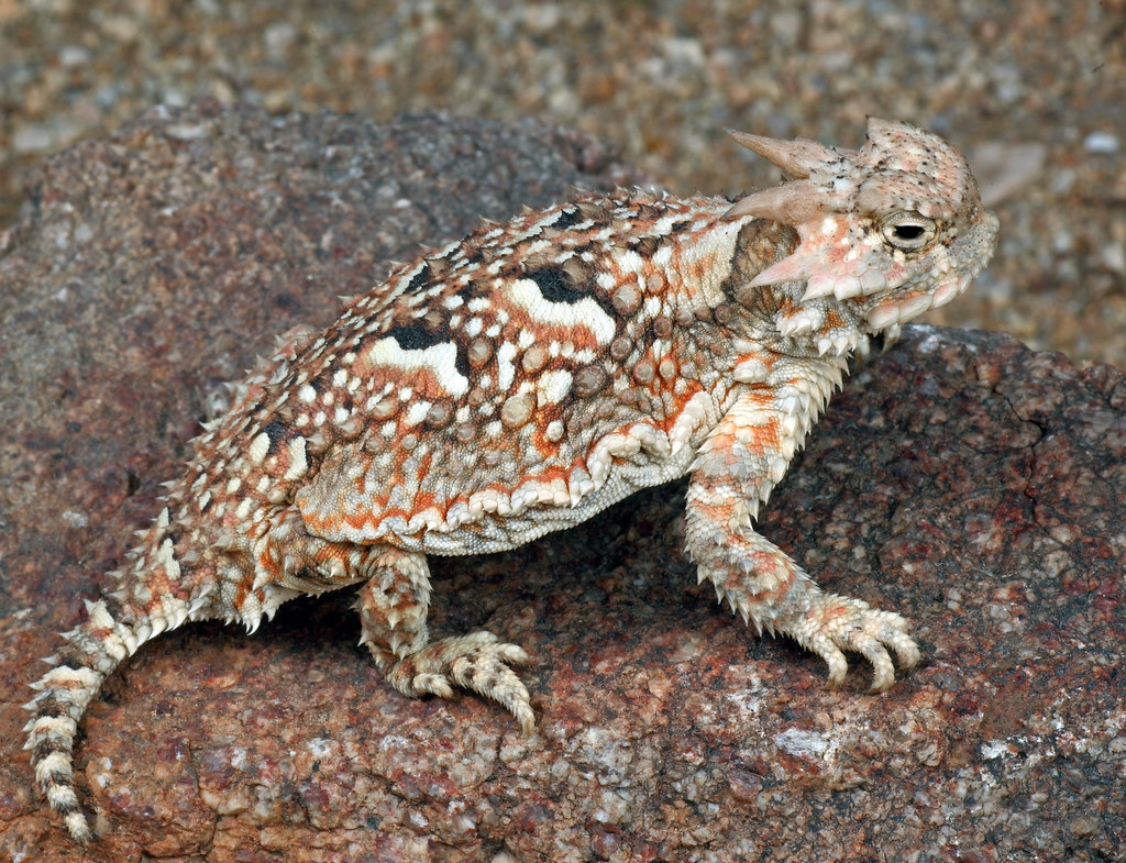 Horned lizard, Lizards and Deserts on Pinterest