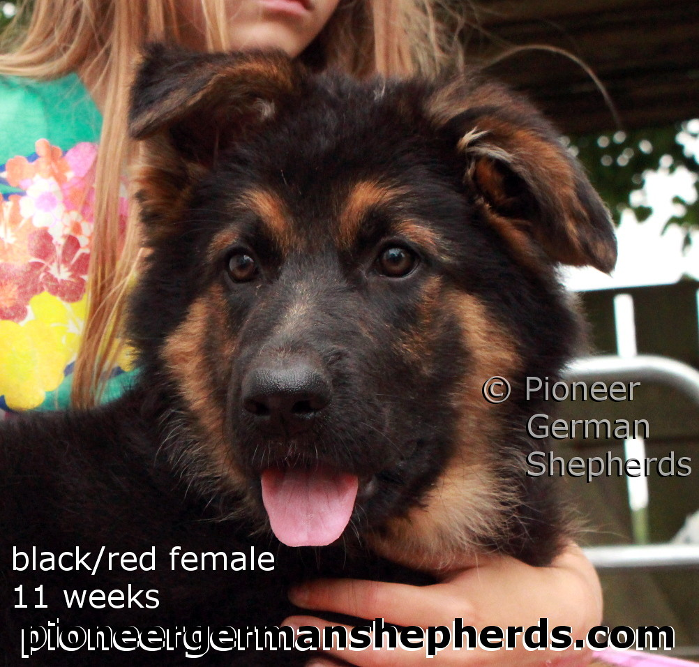 Black And Red German Shepherd Puppy Black And Red German S Flickr