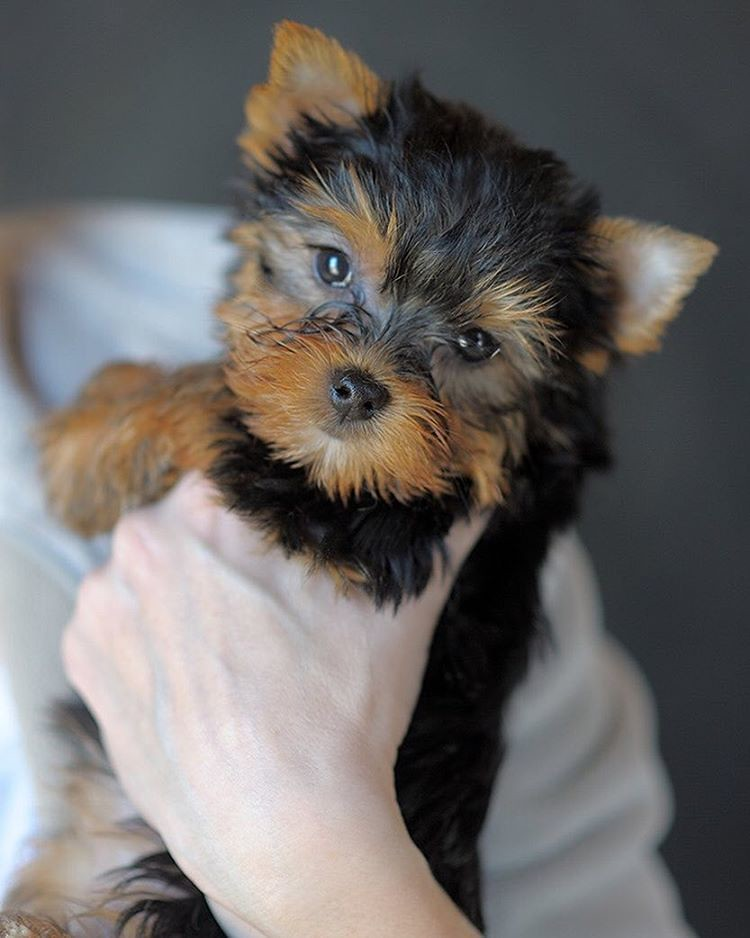 For Sale Female Yorkshire Terrier 2 Months Old Adult W Flickr