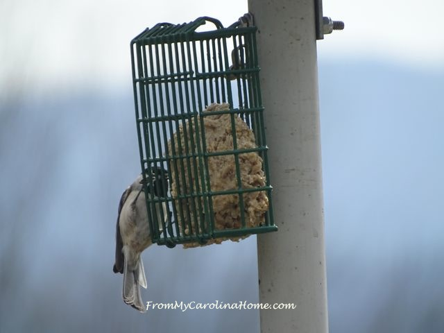Suet feeder March chickadee 2