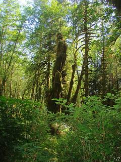 115 Quinault Rain Forest