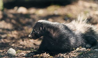 A skunk! | by Tambako the Jaguar