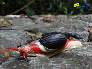 A snail found on Jungle road in Kerala (Indrella ampulla) | by amodbhave