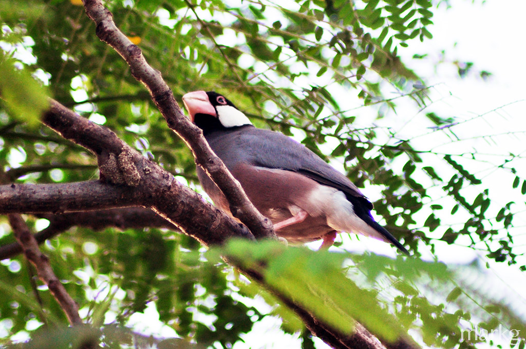 Java Sparrow in Intramuros