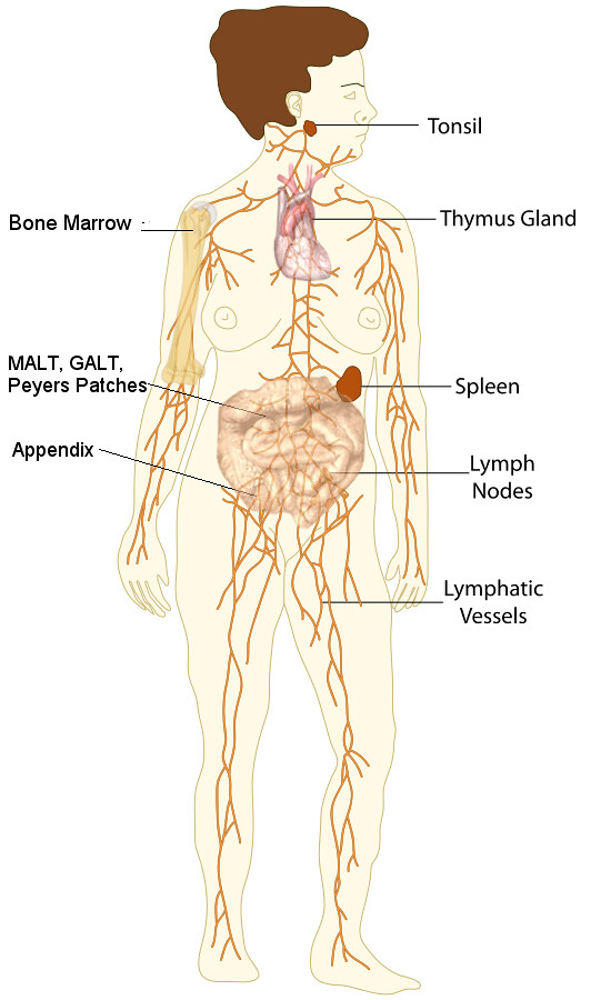 Organs Of The Lymphatic System Modified From Original By Flickr