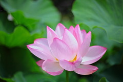 Lotus in Yokohama Sankei-en Garden of 2013 #08