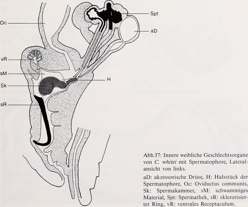 Wunderbar Weibliche Anatomie Der Inneren Organe Fotos - Menschliche ...