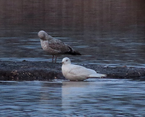 Iceland Gull Larus glaucoides Tophill Low NR, East Yorkshire February 2017