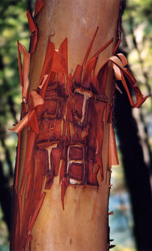 how the bark healed on this Arbutus branch after it was carved with graffiti