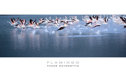 Flamingos | by Panos Mavromytis - Photography