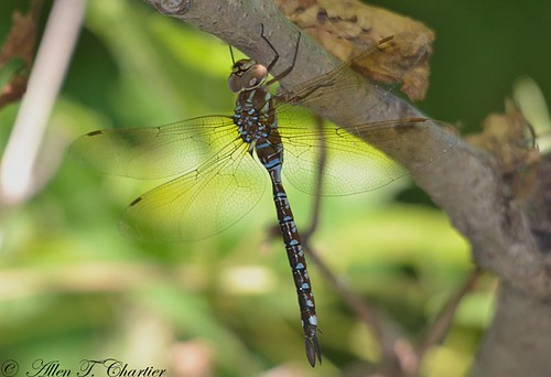 Aeshna constricta (Lance-tipped Darner)