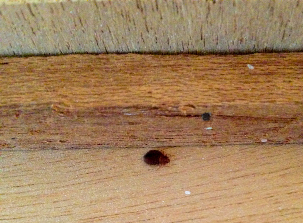 Pregnant Female Bed Bug Hiding Inside A Dresser Look At Flickr