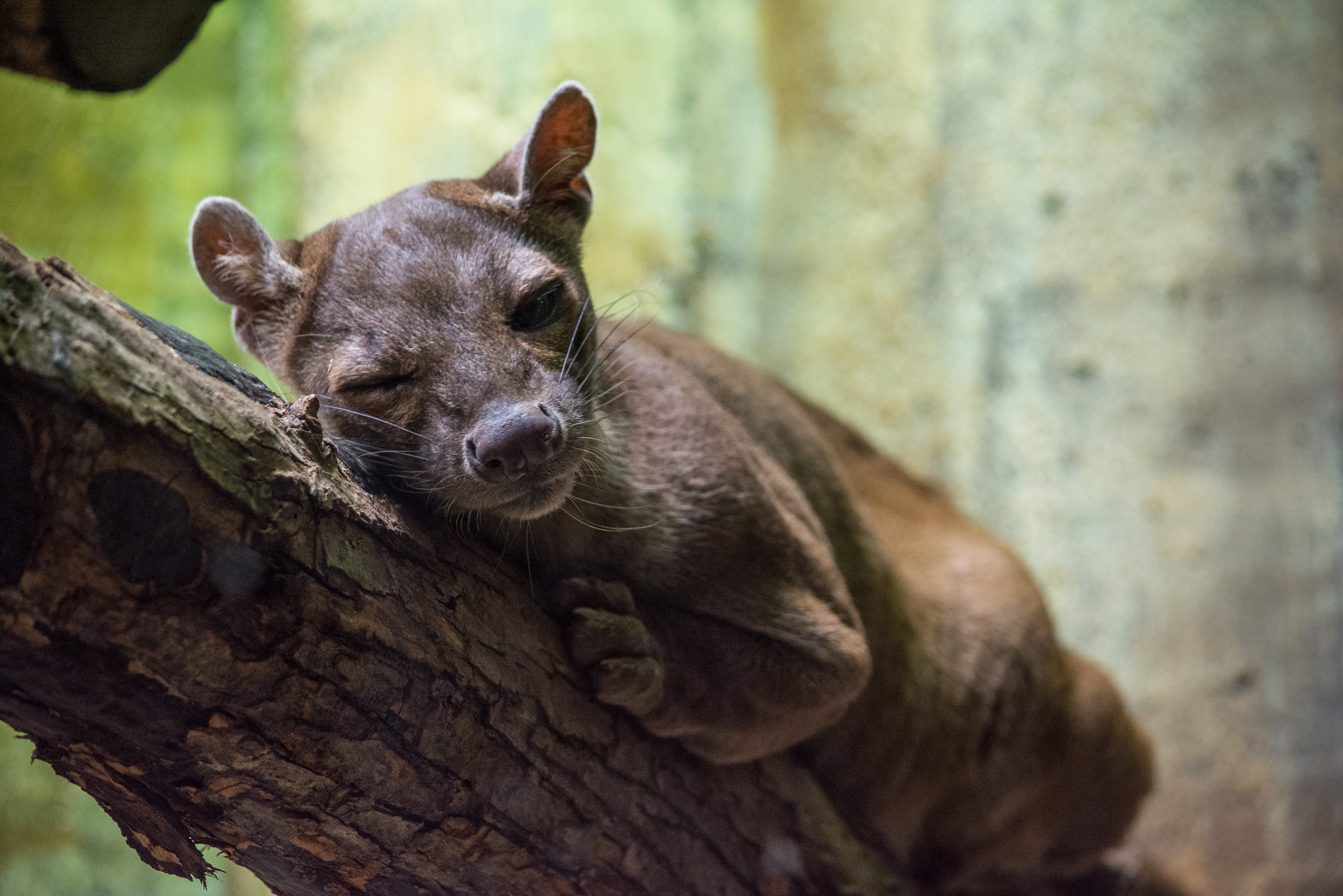sleepy fossa cocks an eye - Cleveland Zoo