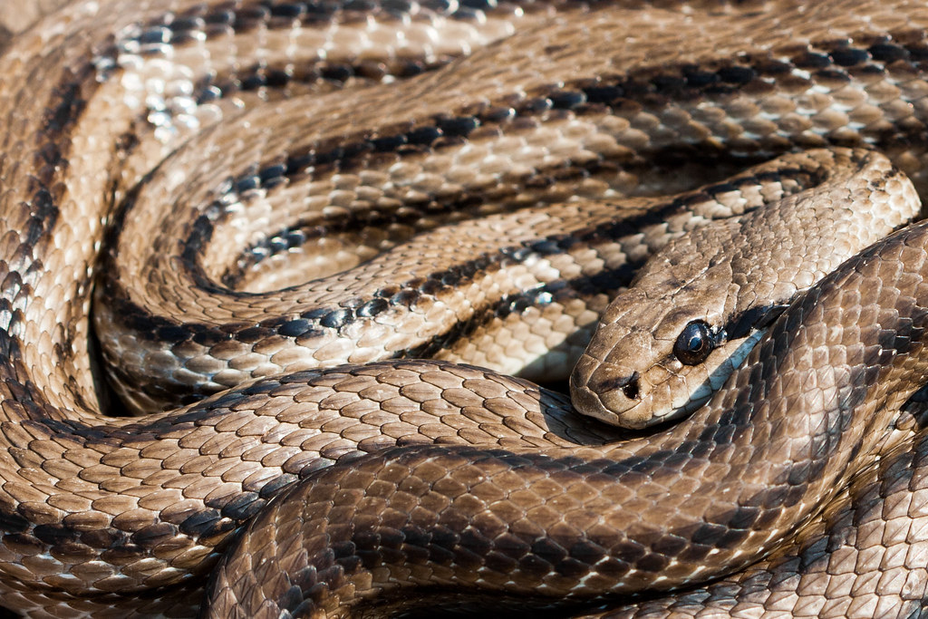 Image result for Four-lined Snake