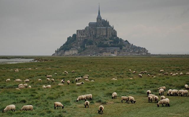 Moutons des prés-salés
