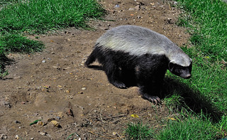 Honey badger | by Steve Slater (used to be Wildlife Encounters)