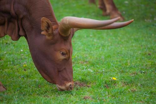 Watusi (raza bovina) ,Parque de la Naturaleza de Cabárceno #DePaseoConLarri #Flickr -5784