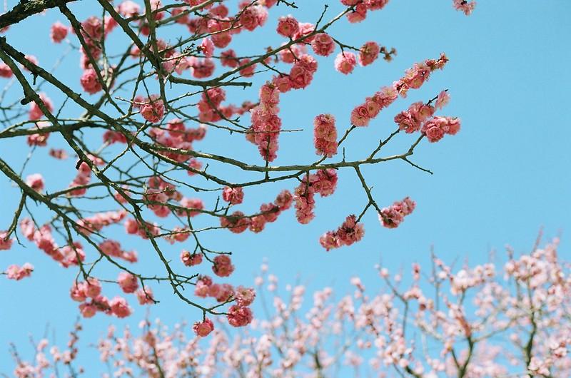 梅の花 | Une blossom
