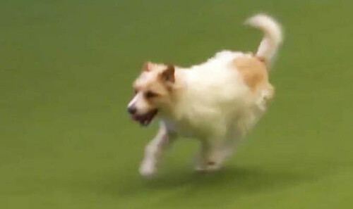 crufts-2017-jack-russell-olly-youtube-video-peter-purves-777961